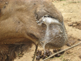 camel4all: A fatal Respiratory Camel Disease | Sustainable Livestock Agenda SLA | Scoop.it