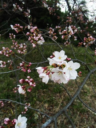 Tokyo Sakura 2014: Yoyogi Koen | JapanxHunter | Tokyo Japan Lifestyle, Food & Drinks! | Scoop.it