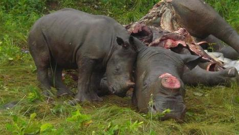 Absolutely the Saddest Rhino Poaching Photo yet! | What's Happening to Africa's Rhino? | Scoop.it