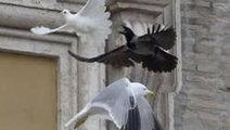 Deux colombes lâchées par le Pape François se font attaquer par une mouette et un corbeau | Faits d'actualité et divers | Scoop.it