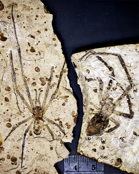 This is the biggest fossil spider ever found! | Geology | Scoop.it