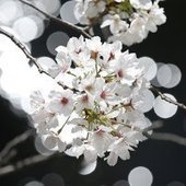 Cherry Blossom Grown from Space Seeds a Bit Weird : DNews | Miss Mandy's Online Finds | Scoop.it