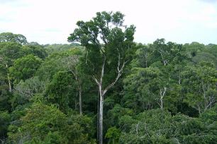 Amazon Rainforest Breathes In More Than It Breathes Out | Rainforest EXPLORER:  News & Notes | Scoop.it