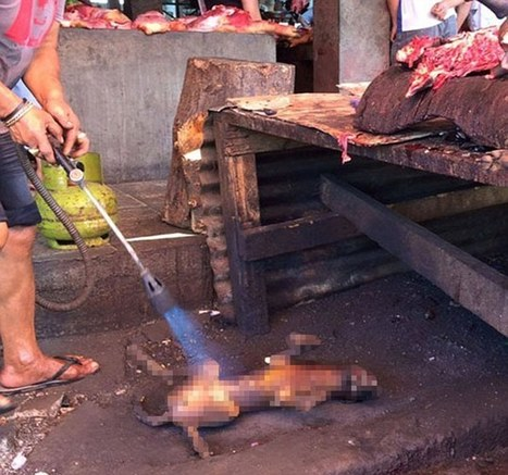 Hundreds of thousands of dogs and cats cruelly slaughtered in Indonesian markets | Daily Mail Online | Nature Animals humankind | Scoop.it