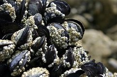 Medicine could harness mussel power › News in Science (ABC Science) | Biomimetics | Scoop.it