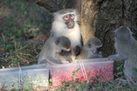 Everybody's Doing It: Monkeys Eat What Others are Eating | Radio Show Contents | Scoop.it