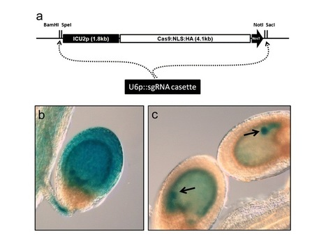 Site-directed mutagenesis in Arabidopsis thaliana using dividing tissue-targeted RGEN of the CRISPR/Cas system to generate heritable null alleles - Springer   Awesome Science That  I Like   Scoop.it