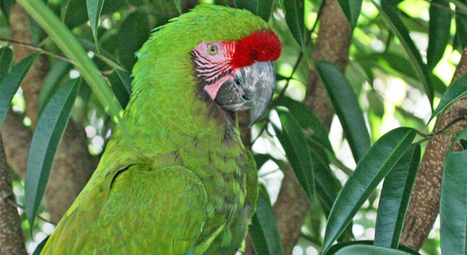 Project Protects Military Macaw Nests from Poachers | GarryRogers Biosphere News | Scoop.it