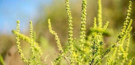 L'ambroisie en fleur, les allergiques en pleurs | Biodiversité | Scoop.it