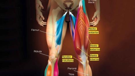 Extensores de rodilla | Mecano Humano | Sportlife.es | Fitnessclub Mujer | Scoop.it