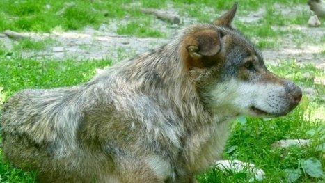 Monsieur le Préfet des Vosges: Pour l'annulation des tirs de défense contre le loup dans les Vosges !! | Loup | Scoop.it