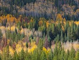 Dying aspen trees sound alarm for world's forests - environment - 05 December 2012 - New Scientist | Sustain Our Earth | Scoop.it