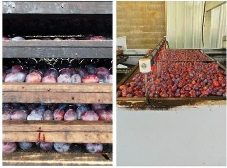 Fabrication du pruneau d'Agen | Gourmandiseries - Blog de recettes de cuisine simples et gourmandes | Voyages et Gastronomie depuis la Bretagne vers d'autres terroirs | Scoop.it