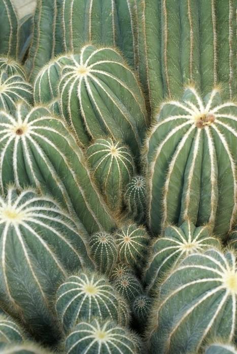 Photo gratuite et libre de droits de Cactus : Parodia magnifica   Cactus and Succulents : Photos de cactus et de plantes grasses gratuites et libres de droits   Scoop.it