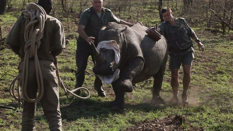 South Africa Counts Carcasses as Rhino Poaching Surges | What's Happening to Africa's Rhino? | Scoop.it