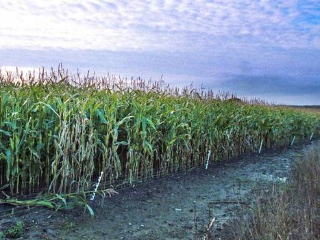 Exclusive: The agricultural revolution - UK pushes Europe to embrace GM crops | The Barley Mow | Scoop.it