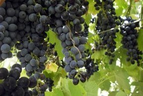 Hunter vignerons urged to rethink using wastewater for irrigation | Viticulture | Scoop.it