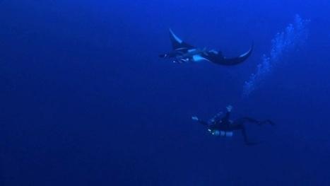 Vidéo plongée HD | Socorro : danse avec les raies manta ! | Plongeurs.TV | Scoop.it