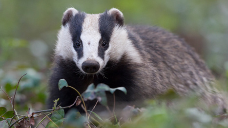 Badger Unearths Medieval Graves in Germany | Strange days indeed... | Scoop.it
