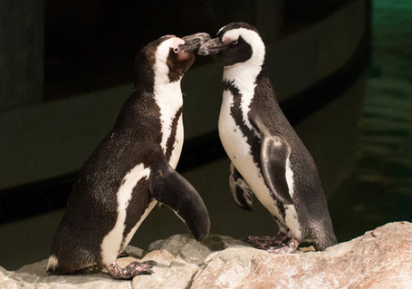 Penguin Blog: A Valentine's Day Look at Penguin Pairs | NEAQ | Scoop.it