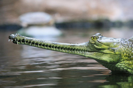 Rivers or grave yards? The woes of the Indian gharial and Gangetic dolphin in the Yamuna River   Biodiversity IS Life  – #Conservation #Ecosystems #Wildlife #Rivers #Forests #Environment   Scoop.it