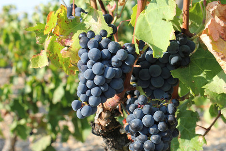 Global Warming is Pushing Wine Harvests Earlier - But Not Necessarily For the Better | SciTech Connect | Erba Volant - Applied Plant Science | Scoop.it