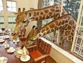 Giraffes join guests for breakfast and dinner at iconic Giraffe Manor | Xposed | Scoop.it