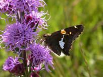 Grassland volunteers enjoy 'best year yet' - SouthtownStar | Native Plants | Scoop.it