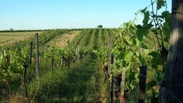 Fewer French winemakers switching to organic   Autour du vin   Scoop.it