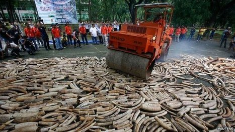 """Elephant deaths reach tipping point (""""more killed than born; 35000 lost last year; gone in 100 years"""") 