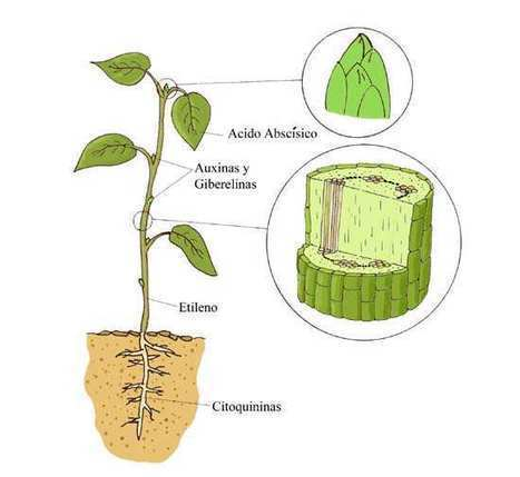 Descubre qué son las giberelinas, auxinas y citoquininas, y su uso en la agricultura | Cultivos | Scoop.it