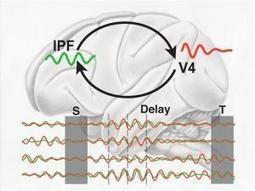 Short-term memory is based on synchronized brain oscillations | Cognitive Science | Scoop.it
