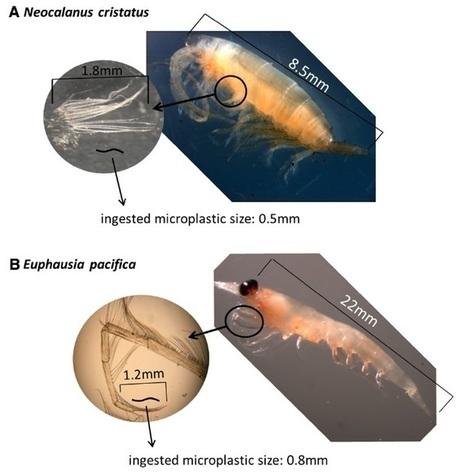Salmon, whales ingest microplastics: study - Nanaimo News Bulletin   Marine Litter   Scoop.it