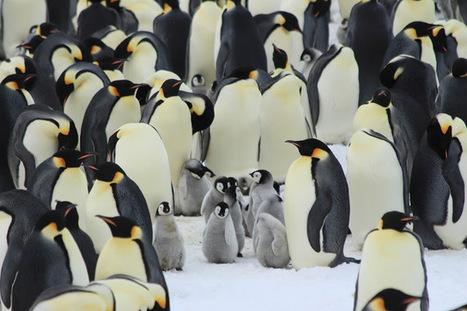 Piou piou piou: la suite! photos et explications du rapt de poussin #Antarctique #manchot #TAAF | Arctique et Antarctique | Scoop.it