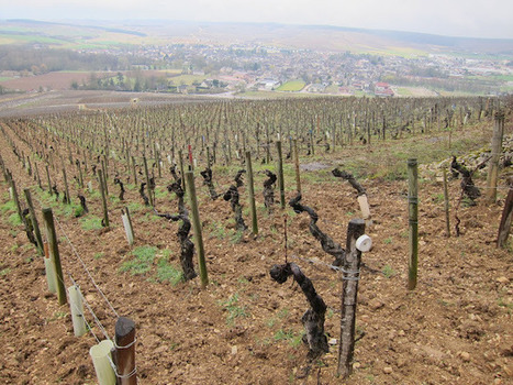 The Gray Report: The world comes to Chablis | Burgundy Flavour | Scoop.it