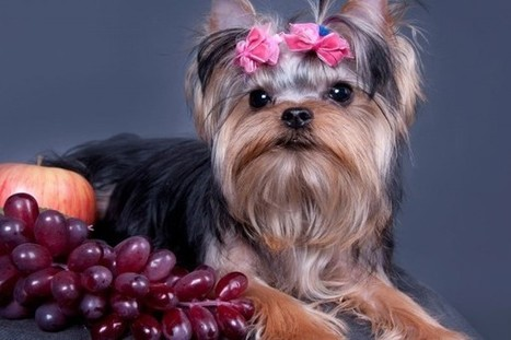 Can Dogs Eat Grapes?   WOOFipedia, provided by the American Kennel Club   Whole Earth Pets   Scoop.it
