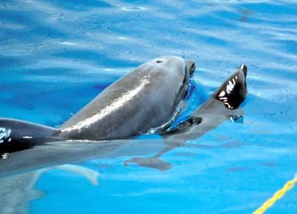 asahi.com:イルカ誕生「今度こそ無事に」水族館-マイタウン鹿児島   Dolphins   Scoop.it