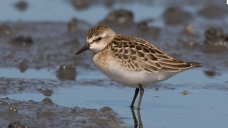 Last stop in Dorchester before South America for Sandpipers   Birding in the news   Scoop.it