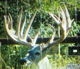 5 Superior Bred Doe BIG TYPICAL | Bred Does and Exotic Deer For Sale | Hunting | Scoop.it