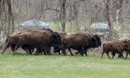 Buffalo herd's escape from New York state farm ends in tragedy | GarryRogers NatCon News | Scoop.it