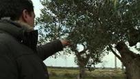 Dans les Pouilles, les oliviers millénaires se meurent de la xylella | Rescoop -Faune - Flore - Environnement | Scoop.it