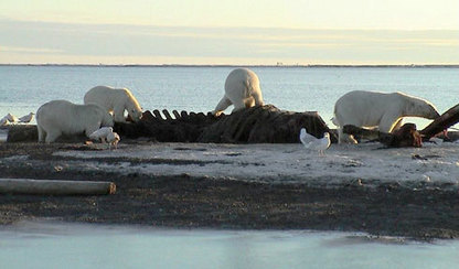 Stuck on land? Polar bears find ways to grab dinner — The Daily Climate | Sustain Our Earth | Scoop.it