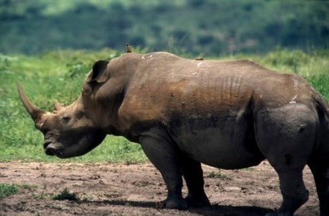 Rhino horn 'smugglers' tried this week | Africa | Scoop.it
