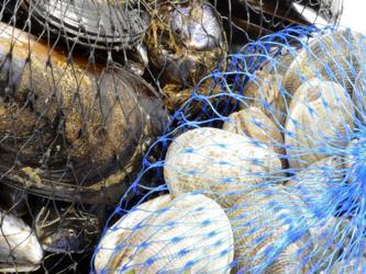 CFIA offers update to the Vibrio Parahaemolyticus Guideline   Aquaculture Directory   Aquaculture Directory   Scoop.it