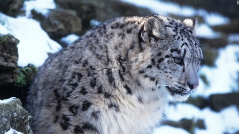 Why snow leopards are in trouble (Opinion) - CNN.com | Farming, Forests, Water, Fishing and Environment | Scoop.it