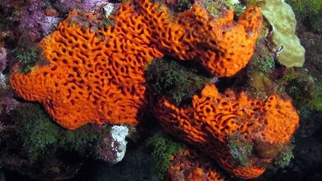 Sponges likely paved the way for all life on earth   Miscellany   Scoop.it