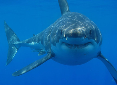 Tracking great white sharks with drones right from an iPhone | The Robot Times | Scoop.it