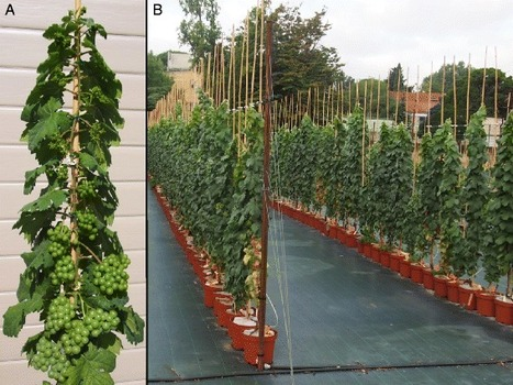 Identification of stable QTLs for vegetative and reproductive traits in the microvine (Vitis vinifera L.) using the 18 K Infinium chip | Plant Gene Seeker -PGS | Scoop.it