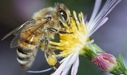 Helping Honeybees Benefits Your Garden - Animal Life | Animal Life | Scoop.it