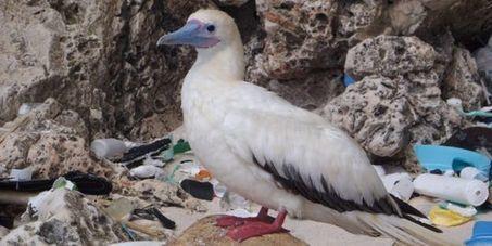 D'ici à 2050, la quasi-totalité des oiseaux marins auront ingéré du plastique | Ca m'interpelle... | Scoop.it